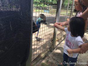 ANIMAL RESORT SINGAPORE FEEDING CASSOWARY