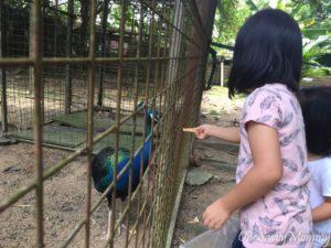 ANIMAL RESORT SINGAPORE FEEDING PEACOCK