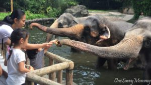 Singapore Zoo Special Experiences Feeding Elephant