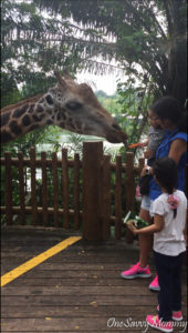 Singapore Zoo Special Experiences Feeding Giraffe
