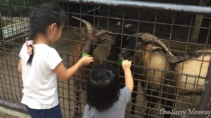 Singapore Zoo Special Experiences Feeding Goat