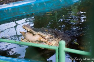Davao City Crocodile Park Crocodile Eating Pig Leg